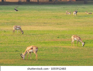 Deer roaming and eating grass freely in a garden at Akbar's tomb in Sikandara, Agra, India
