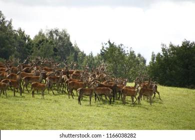 deer roe herd