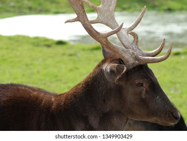 Deer are the ruminant mammals forming the family Cervidae. Species in the Cervidae family include White-tailed deer, Elk, Moose, Red Deer, Reindeer, Roe and Chital.