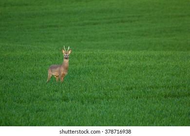 Deer in rye field