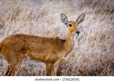 Deer in Serengeti National Park Tanzania, july 2017