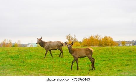 deer in Siberia,Russia