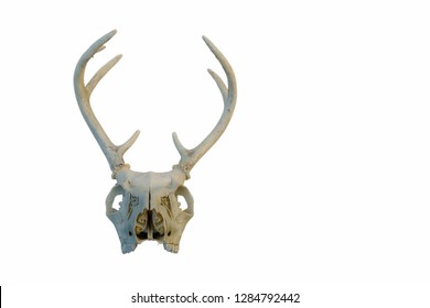 Deer Skull and antlers on a white background.