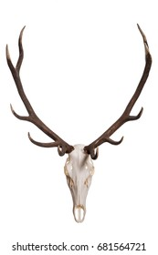Deer skull isolated on white background. Deer skull with big horn.