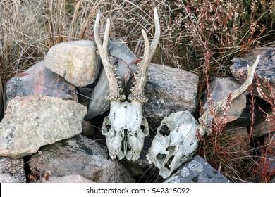 deer skulls on stone pile in wild