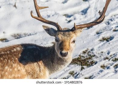 Deer in the snow in the dunes of the Amsterdamse Waterleidingduinen in Zandvoort, The Netherlands - Europe