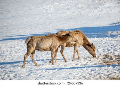 a deer in the snow eating