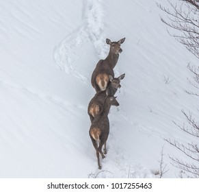 deer in the snow in the mountains of Asturias, after the intense snowfall of these days ...
