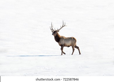 deer in the snow, in the north