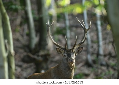 Deer stag with antlers walks between branches in the forest at mating time