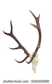deer stag red deer isolated hunting hunter