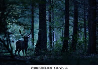 Deer Stag standing in the natural Night Forest.