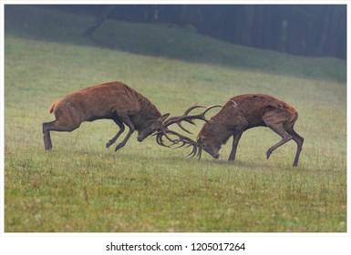 Deer stags during rutting sason
