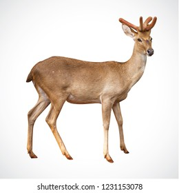 deer at Stand on white background