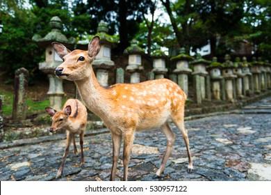 deer standing in front of the Stone lanterns in Kasuga-taisha shrine, Nara, Japan