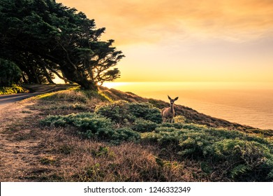 Deer standing in grass looking into camera Point Reyes National Seashore west USA. Sunset photo with wild animal.  Emotional moment.
