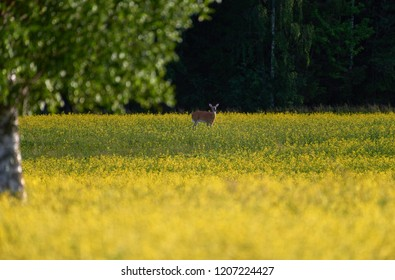 Deer standing in the middle of bright yellow rapeseed field in the evening light at the end of July in Western Finland on sunny evening.