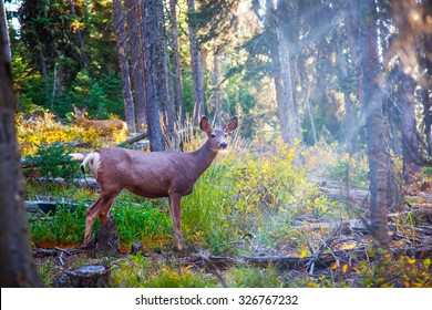 Deer standing in sunshine in forest. Yellowstone National Park, Wyoming.