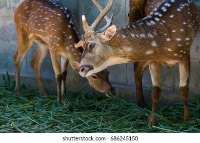 Deer star