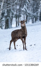 A deer sticking out it's tounge while standing in the snow
