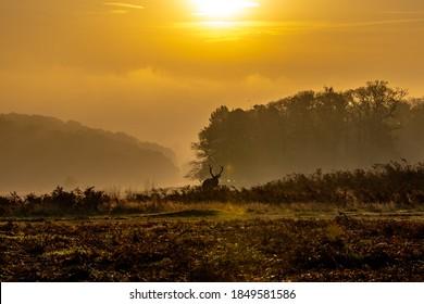 Deer at sunrise at Bradgate Park Leicestershire