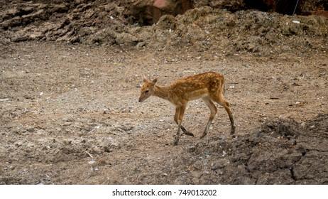 deer in thailand