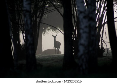Deer in thick fog in a dark spooky eerie and creepy forest. Foggy forest.