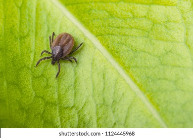 Deer tick on a green leaf background. Ixodes ricinus. Close-up of dangerous infectious mite on natural texture with diagonal line. It carries encephalitis, Lyme borreliosis, babesiosis, ehrlichiosis.