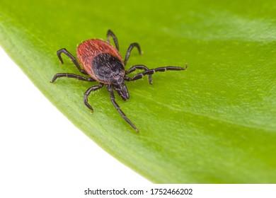 Hirschkrebs auf grünem Blatt einzeln auf weißem Hintergrund. Ixodes ricinus oder scapularis. Nahaufnahme von parasitärer Milbe, die auf einer natürlichen Pflanze krabbelt. Gefährliches Insekt, Träger von viralen und bakteriellen Infektionen.