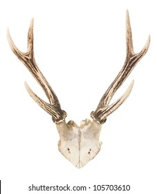 A deer trophy with antlers over a white background
