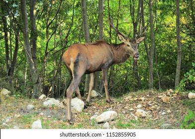 Deer ungulate mountain