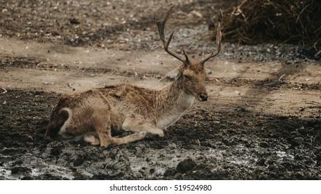 deer, vintage tone