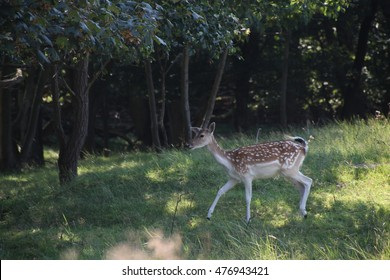 A deer walking in the forest