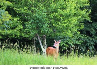 deer walking through a field