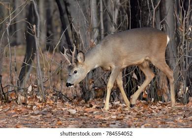 deer walking through the forest