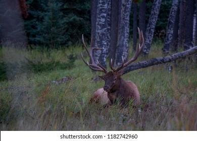 Deer Wapiti alias Elk hanging around Jasper National Park, Canada, Alberta