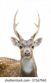 deer at white isolated background