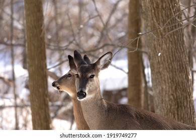 Deer. The white-tailed deer  also known as the whitetail or Virginia deer in winter on snow. White tailed deer is  the wildlife symbol of Wisconsin  and game animal of Oklahoma.
