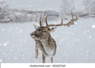 deer in winter, in heavy snow.