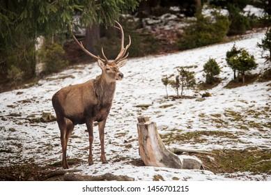 Deer in winter snowy forest