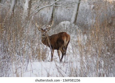 Deer in the wintertime trying to suvive. Animals are based in the Oostvaardersplassen, Almere Netherlands