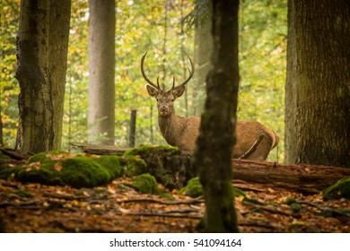 deer in the woods, germany, europe