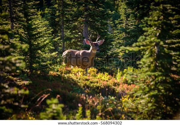 Deer in the Woods at Mount Rainier National Park