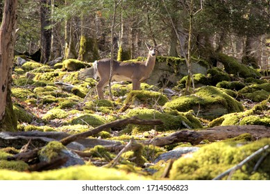 Deer in woods surrounded by rocks