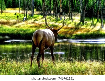 Deer in Yellowstone National Park in USA