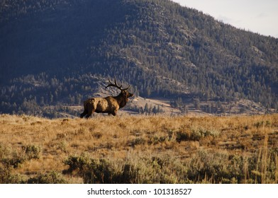 Deer in Yellowstone National Park, Wyoming