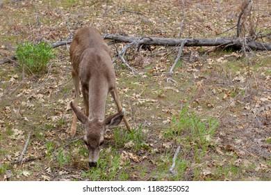 Deer at Yosemite National Park