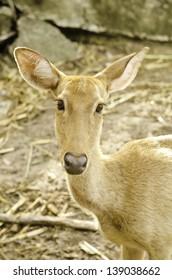 Deer in the zoo of thailand