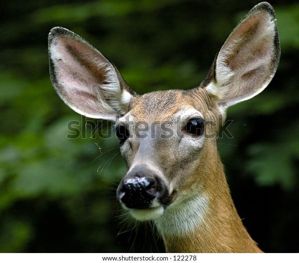 deer1