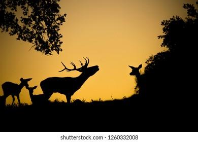 Deers (cervus elaphus) group during breeding season, subset, backlighted